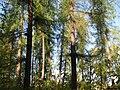 Pădurea de larice Coştiui, 2009 Foto Anton B..jpg