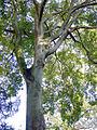 P1280621 Paris V Jardin des Plantes Micocoulier rwk.jpg