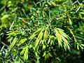 PR Vresova stran 042 Juniperus communis.jpg