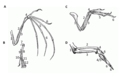 PSM V52 D542 Evolution of limbs into wings.png