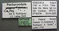 Pachycondyla cauta casent0178707 label 1.jpg