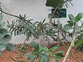 Pachypodium succulentum (Jardin des Plantes de Paris).jpg