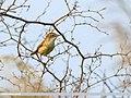 Paddyfield Warbler (Acrocephalus agricola) (37089214924).jpg