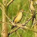 Paddyfield warbler 2.jpg