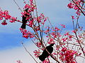 Pair of tui in flowering tree.jpg