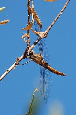 Pantala hymenaea-Male-1.jpg