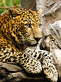 Panthera pardus close up.jpg