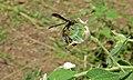 Paper Wasp Belonogaster dubia (8390998940).jpg