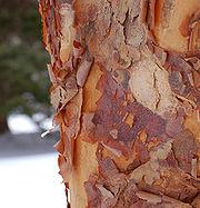 Paperbark Maple Acer griseum Bark Vertical 1921px.jpg