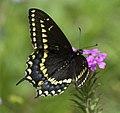 Papilio polyxenes asterius P1020614a.jpg
