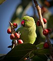 Parakeet eating fruits.jpg