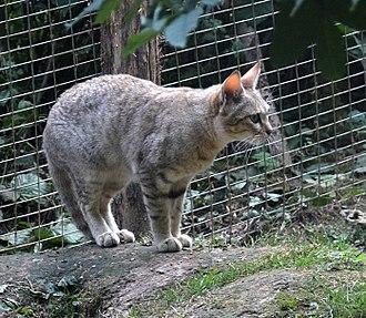 African wildcat - An African wildcat at Parc des Félins