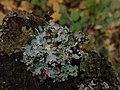 Parmelia sulcata 101902336.jpg