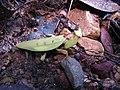 Parymenopus davisoni? (8051015078).jpg