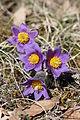 Pasqueflower - Pulsatilla vulgaris (13213792695).jpg
