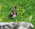 Passeriformes in Norway (9306378438).jpg