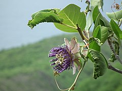 Passiflora laurifolia martinique.jpg