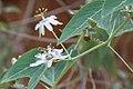 Passiflora pardifolia.jpg