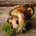 Paxillus involutus (15596841975).jpg