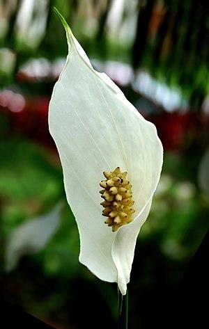 Spathiphyllum - Peace lily -- Spathiphyllum