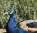 Peacock (27967598345).jpg