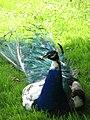 Peacock - geograph.org.uk - 524104.jpg