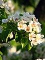Pear blossom (Pyrus) 13.JPG