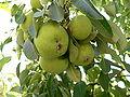 Pears Geghard.jpg