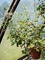 Pelargonium grandiflorum (BG Zurich)-01.JPG