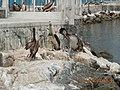 Pelikan - panoramio (2).jpg