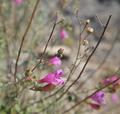 Penstemon richardsonii var. richardsonii 9222179664 o (2).png