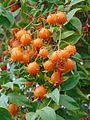 Pereskia aculeata fruit.jpg