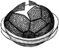Peridinium ovatum cyst.png