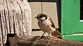 Perisoreus canadensis -Mount Rainier, Washington, USA -immature-8.jpg