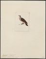 Peristera violacea - 1820-1860 - Print - Iconographia Zoologica - Special Collections University of Amsterdam - UBA01 IZ15600217.tif