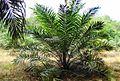 Perkebunan kelapa sawit milik rakyat (21).JPG