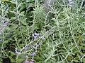 Perovskia atriplicifolia 4zz.jpg