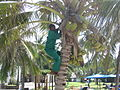 Person removing coconuts from a Cocos nucifera tree at the Indian Ocean Beach Club hotel near Mombasa, Coast Province, Kenya.jpg
