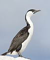 Phalacrocorax fuscescens - Derwent River Estuary crop2.jpg