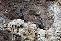 Phalacrocorax gaimardi -Patagonia-8.jpg
