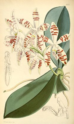 Illustration of Phalaenopsis sumatrana