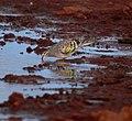 Phaps chalcoptera 1 - Christopher Watson.jpg