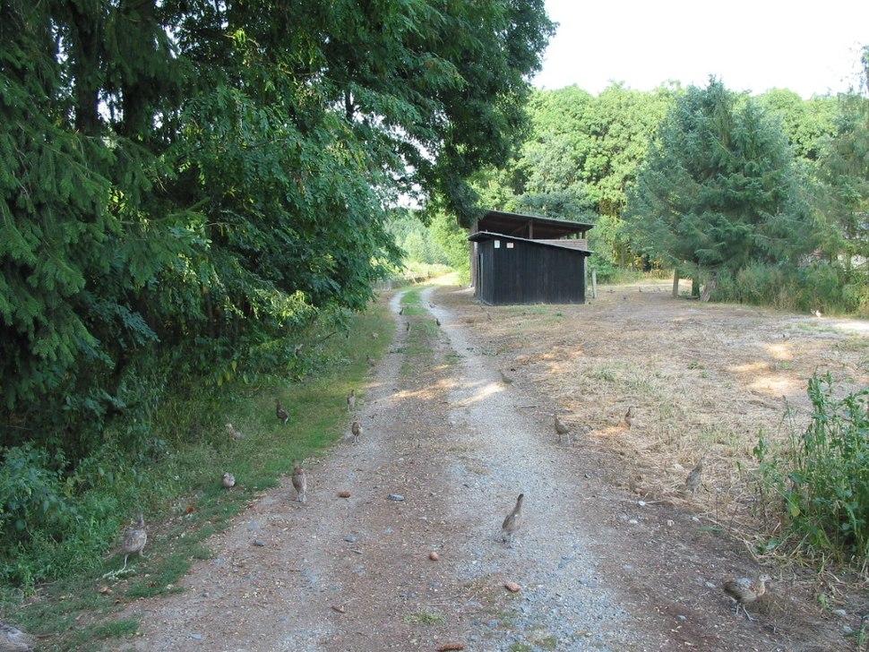 Pheasant in Litovelske Pomoravi