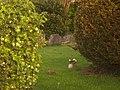 Pheasant in longden churchyard - panoramio.jpg