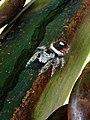 Phidippus californicus 504734.jpg