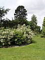 Philadelphus (mock orange) collection, Kew Gardens - geograph.org.uk - 176634.jpg