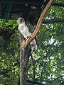 Philippine Eagle - Pithecophaga jefferyi - Ninoy Aquino Parks & Wildlife Center 04.jpg