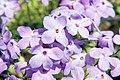 Phlox stolonifera Sherwood Purple 9zz.jpg