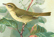 The greenish warbler demonstrates the concept of a ring species.