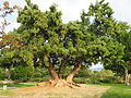Phytolacca dioica Roserar de Cervantes.JPG